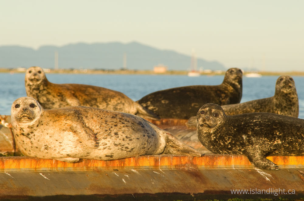Mammal  photo from  Comox Harbour, BC Canada.