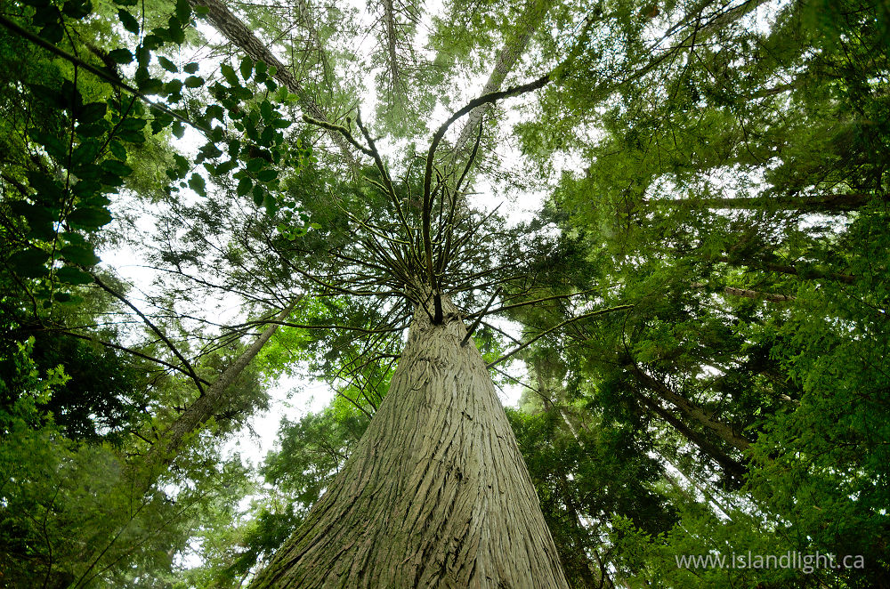 Looking up at a red cedar forest photo from cortes