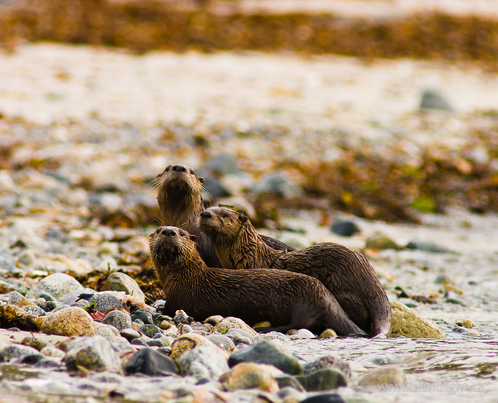 Mammal  photo from Smelt Bay Cortes Island, BC Canada.