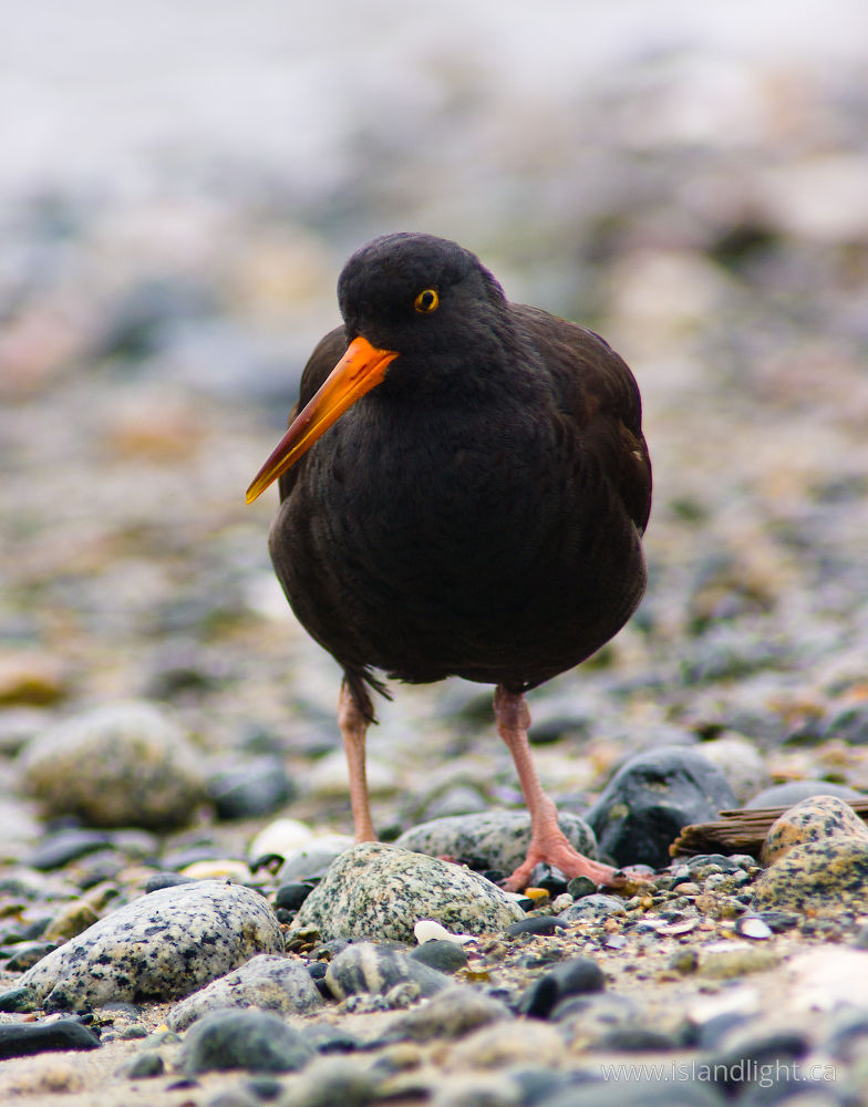 Bird photo from Smelt Bay Cortes Island, BC Canada.