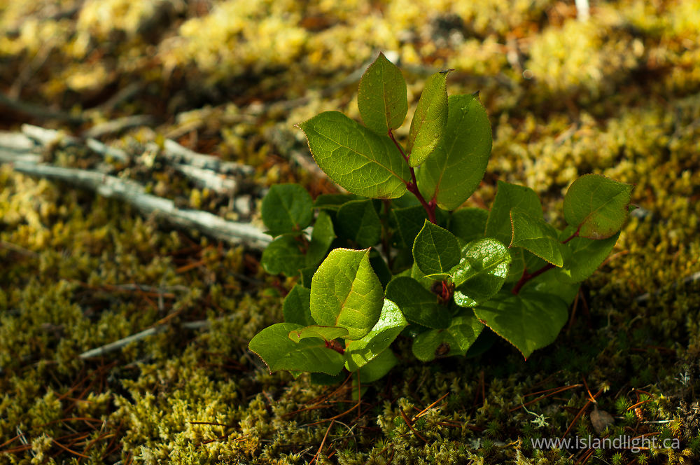 Plant  photo from Green Mountain Cortes Island, BC Canada.