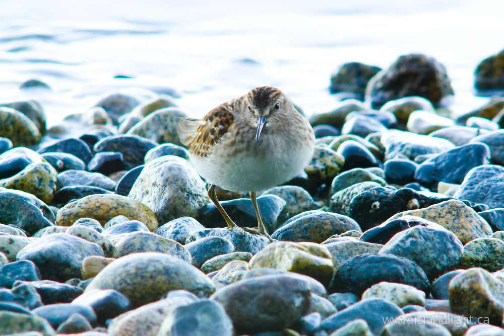 Bird photo from Mansons Landing Cortes Island, BC Canada.