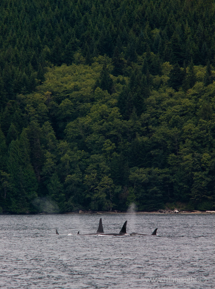 Mammal  photo from  Johnstone Strait, BC Canada.