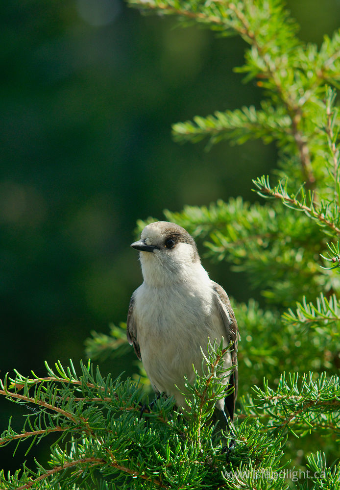 Bird  photo from  Strathcona Provincial Park, British Columbia Canada.