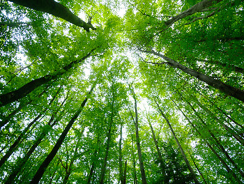 Looking Up ~ forest picture from  France.