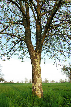 Cherry Tree ~ Tree picture from  France.