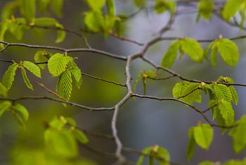 Spring Alder Branch ~ Alder Tree picture from Aillevillers France.