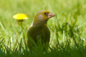 Greenfinch ~ Finch picture from Aillevillers France.