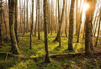 Dawn in the Alder Grove ~ Forest picture from Aillevillers France.