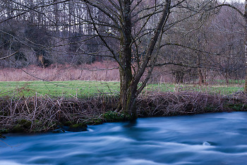 An alder by the Auberonne ~ River picture from Aillevillers France.