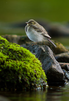 Baby White Wagtail ~ Wagtail picture from Aillevillers France.