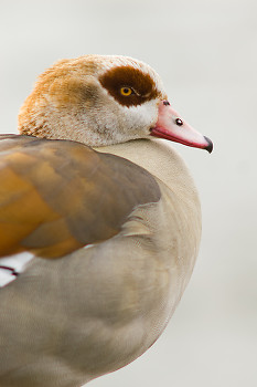 Egyptian Goose ~ Goose picture from Amsterdam Netherlands.