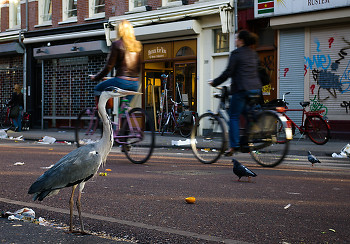 Urban Wildlife ~ Gray Heron picture from Amsterdam Netherlands.