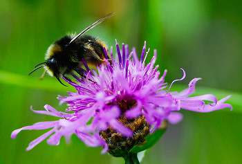 Bumble Bee Lunch ~ Bee picture from Aillevillers France.