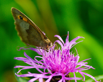 Sipping Knapweed ~ Butterfly picture from Aillevillers France.