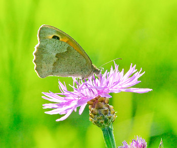 Butterfly on a knapweed flower ~ Butterfly picture from Aillevillers France.