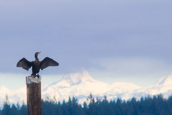 Pelagic Cormorant ~ Cormorant picture from Campbell River Canada.