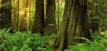 Giant Red Ceders at Cathedral Grove ~ Forest picture from Cathedral Grove Canada.