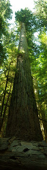 The Pillar of Cathedral Grove  ~ Old Growth Forest picture from Cathedral Grove Canada.