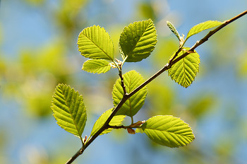 Alder Leaves II ~ Alder Tree picture from Cortes Island Canada.