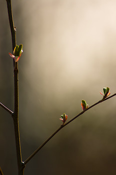 Young Alder leaves ~ Alder Tree picture from Cortes Island Canada.