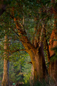Arbutus Trunks at Mansosn Landing ~ Arbutus Tree picture from Cortes Island Canada.