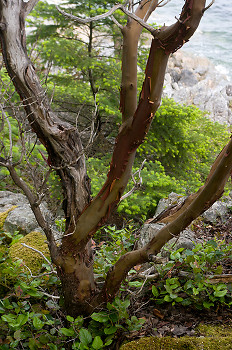 Arbutus Portrait ~ Arbutus Tree picture from Cortes Island Canada.