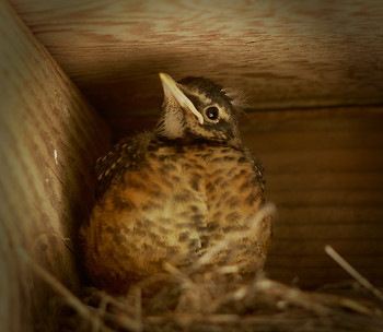 Robin Chick ~ Baby Bird picture from Cortes Island Canada.