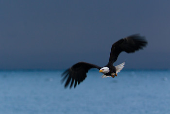 Haliaeetus leucocephalus - The King of the Intertidal Ecosystem  ~ Bald Eagle picture from Cortes Island Canada.