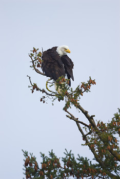 Preening Eagle ~ Bald Eagle picture from Cortes Island Canada.