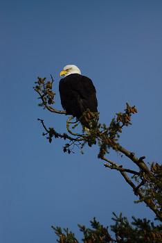Haliaeetus leucocephalus ~ Bald Eagle picture from Cortes Island Canada.