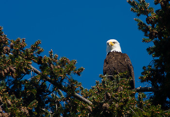 Haliaeetus leucocephalus Portrait ~ Bald Eagle picture from Cortes Island Canada.