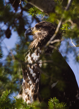 Juvenile Bald Eagle Portrait ~ Bald Eagle picture from Cortes Island Canada.