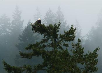 Bald Eagle ~ Bald Eagle picture from Cortes Island Canada.