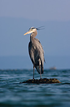 Great Blue Heron ~ Blue Heron picture from Cortes Island Canada.