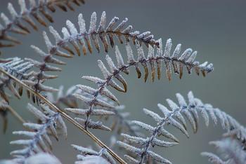 Frozen Bracken ~ Bracken picture from Cortes Island Canada.