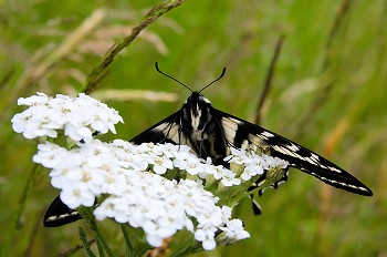 Eastern Tiger Swallowtail ~ Butterfly picture from Cortes Island Canada.