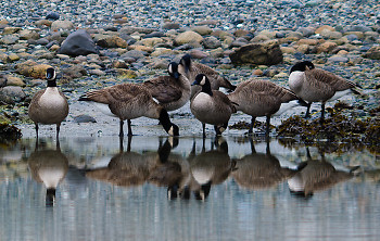 Seven Canada Geese ~ Canada Goose picture from Cortes Island Canada.