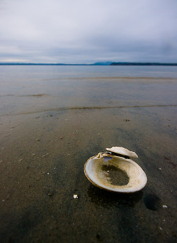 Lone Calm Shell ~ Clam Shell picture from Cortes Island Canada.