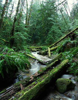 Rain Forest ~ Creek picture from Cortes Island Canada.