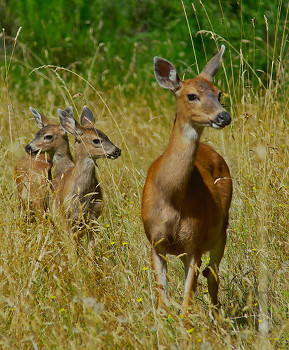 Mother Deer and Two Fawns ~ Deer picture from Cortes Island Canada.