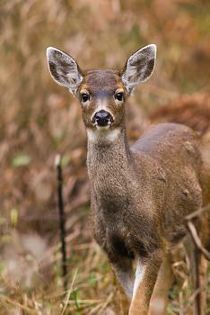 Young Odocoileus Hemionus Columbianus ~ Deer picture from Cortes Island Canada.
