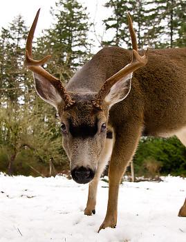 Odocoileus Hemionus Columbianus ~ Deer picture from Cortes Island Canada.