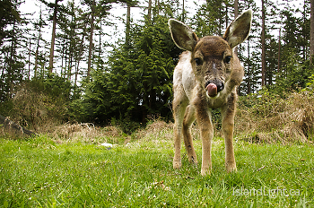 Baby Black-tailed Deer with Tongue Out ~ Deer picture from Cortes Island Canada.