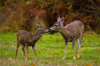 Mother and Daughter ~ Deer picture from Cortes Island Canada.