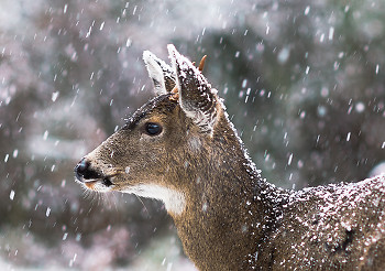 Blacktail Deer in Snowstorm ~ Deer picture from Cortes Island Canada.