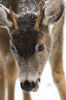 Deer picture from Cortes Island Canada.