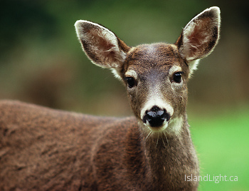 Hi! ~ Deer picture from Cortes Island Canada.