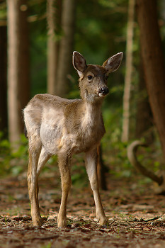 Young Blacktail in the Forest ~ Deer picture from Cortes Island Canada.