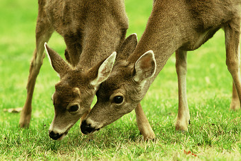 Mother and Son ~ Deer picture from Cortes Island Canada.
